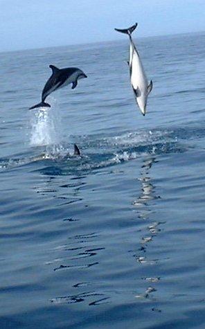 Photo impréssionnante des cétacés^^... Dolphins-jumping